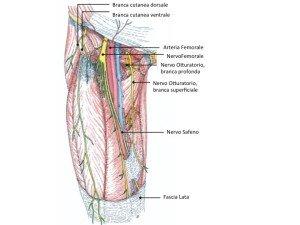 Nervo femoro cutaneo laterale