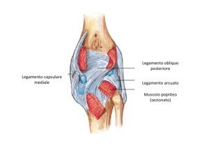 anatomia del ginocchio, legamenti visione posteriore