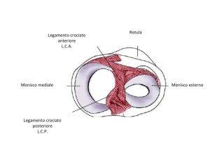anatomia del ginocchio, sezione di menischi e legamenti crociati