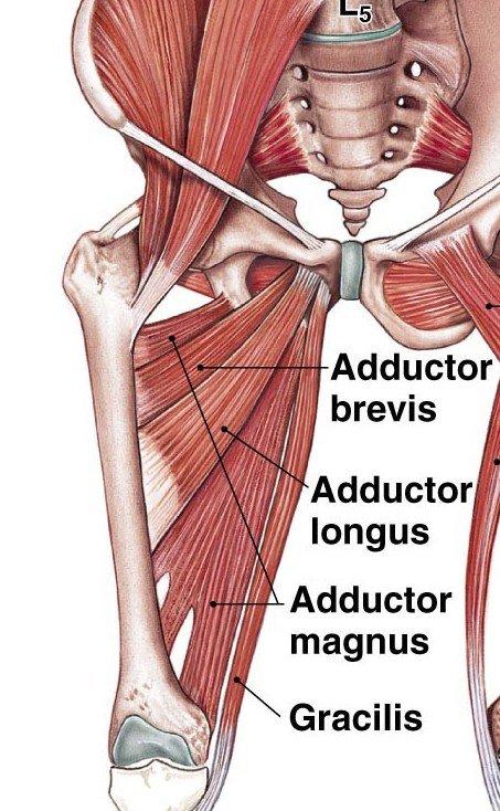 Anatomia degli adduttori